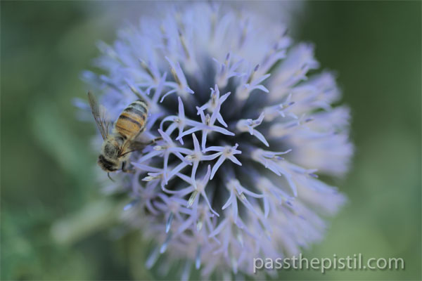 Echnops and Honey Bee