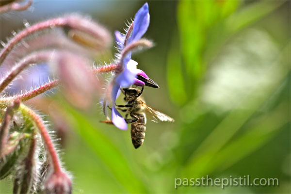 Borage and foraging honey bee