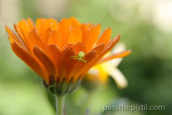 Calendula and garden spider