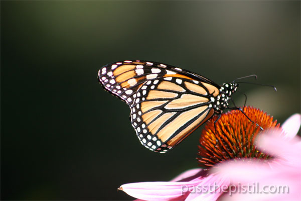 Echinacea with Monarch Butterfly