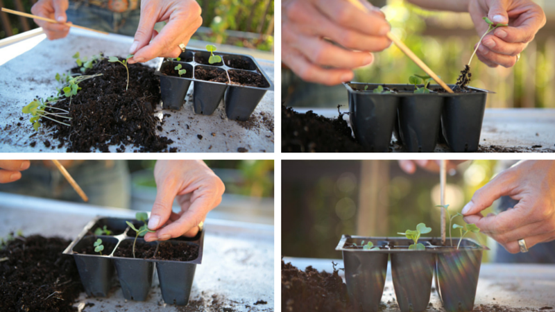 Transplanting seedlings into the garden