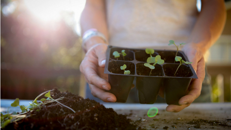 Tips for Growing & Transplanting Seedlings