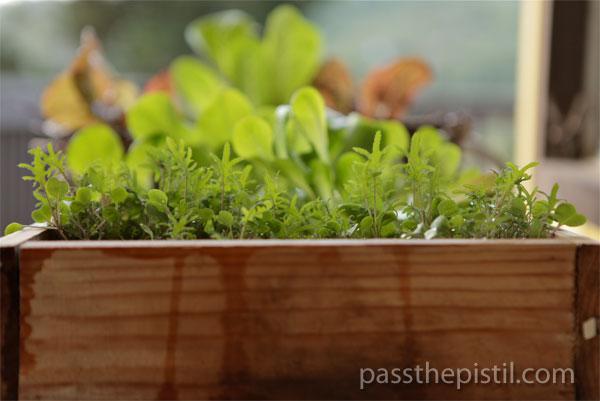 Redwood Flat Lettuces