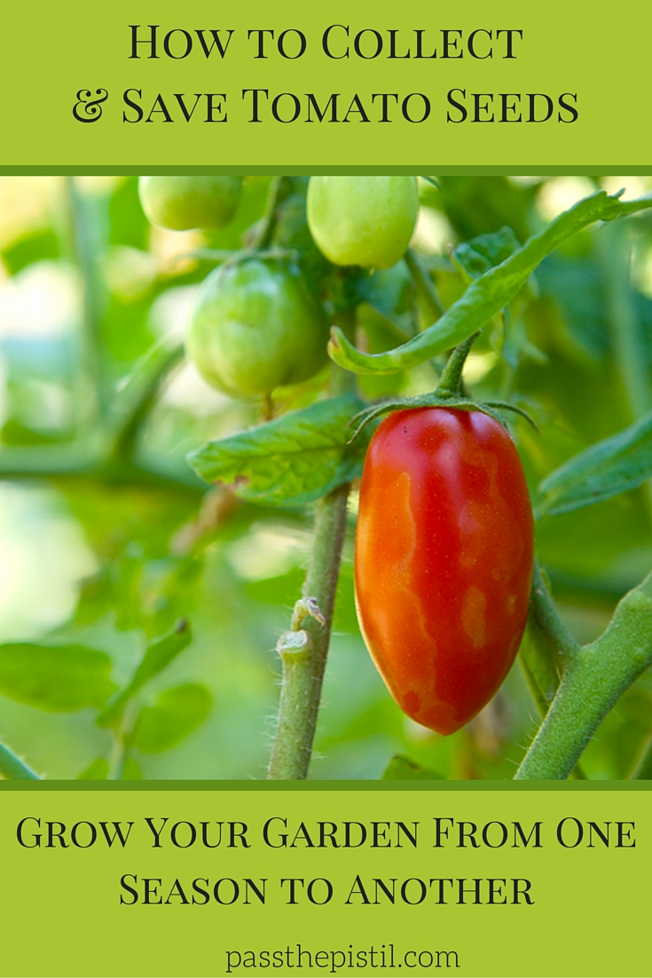 How to collect save tomato seeds Collect and save