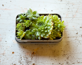 Small Space Gardening | How to Make a Mint Tin Garden