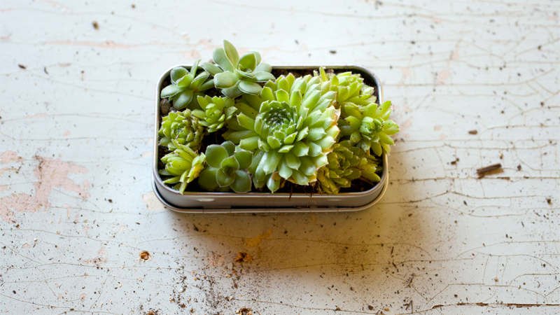 Small Space Gardening How To Make A Mint Tin Garden Pass The Pistil