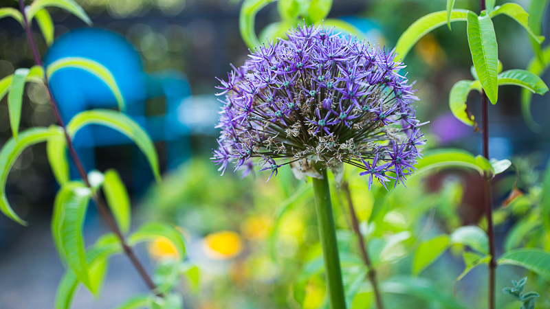 6 bulbs to plant now for spring pass the pistil theyre deer and rodent resistant thanks to their naturally fragrant nature and they come in all shapes and sizes from chives and spring onions to their mightylinksfo