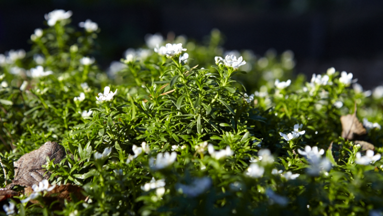 Candytuft -- Iberis sempervirens