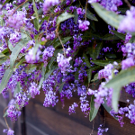 Hardenbergia violacea by Emily Murphy with http://passthepistil.com/