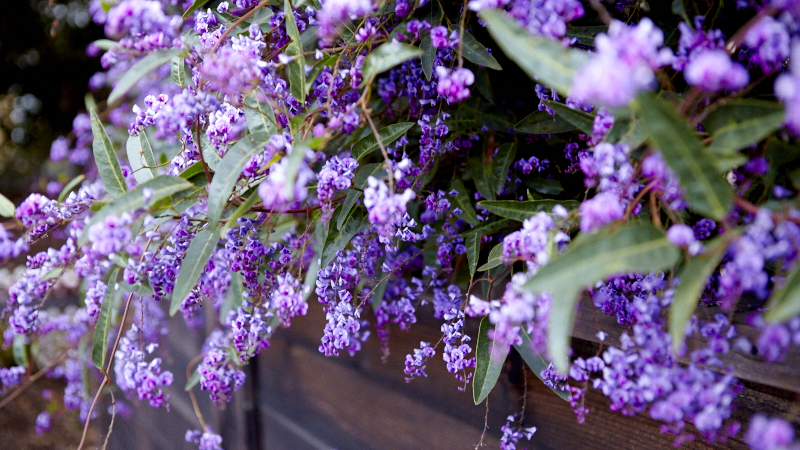 Plant Pick | Happy Wanderer |Hardenbergia violacea | Photo by Emily Murphy