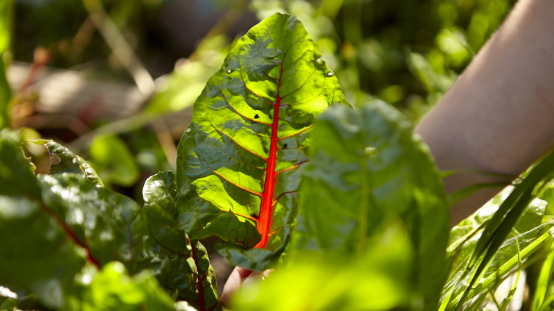 What to Plant: How to Grow Chard