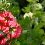 Plant Pick | Hollyhocks