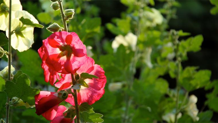 Plant Pick | Hollyhocks