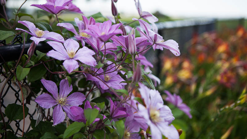 Plant Pick | Clematis
