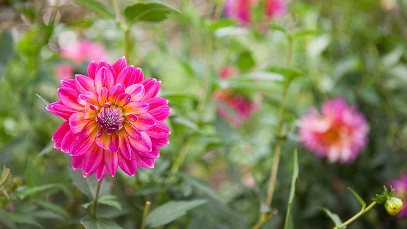 Pacific Northwest Flower Revival: Dahlias. Emily Murphy & Pass the Pistil.