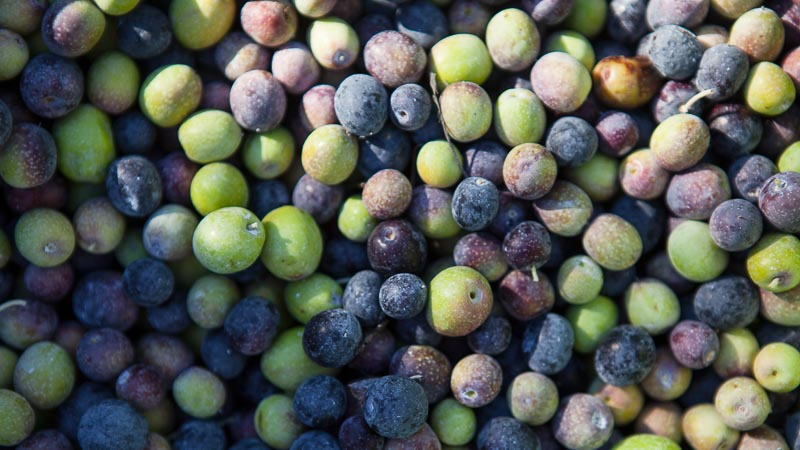 Grow What You Love: Napa Valley Olive Harvest