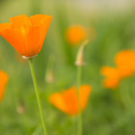 Plant Pick: California Poppies