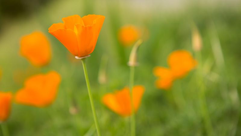 Plant Pick: California Poppies