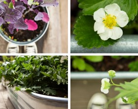 Kitchen Garden: Are Galvanized Planters Safe?