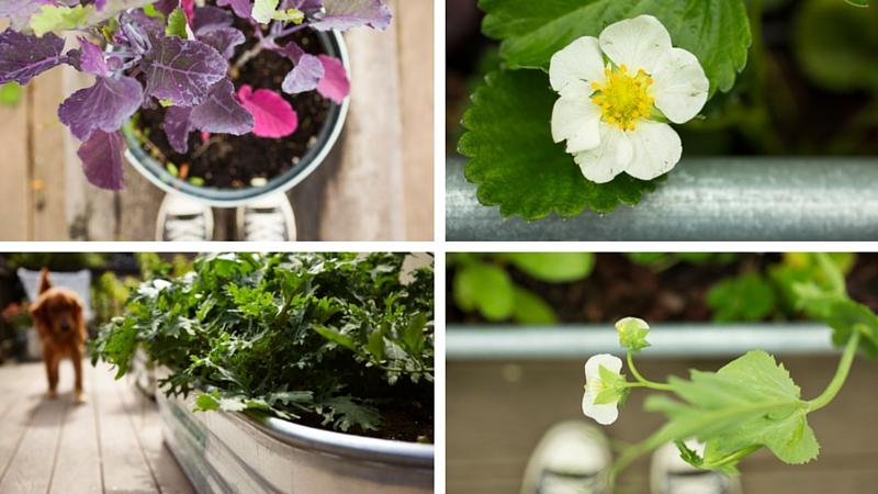Kitchen Garden Are Galvanized Planters Safe