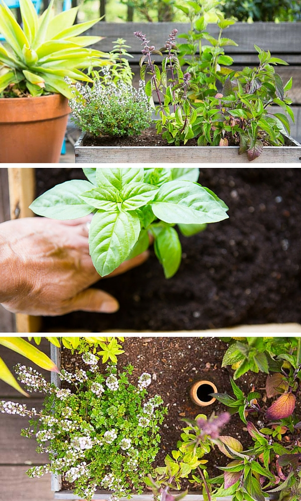 Diy wine box herb garden - Tips planting herbs lovage parsley dill ...