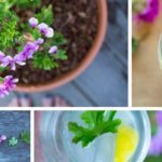 DIY Cocktail Herb Garden: How to Grow and Use Scented Geranium + Recipes
