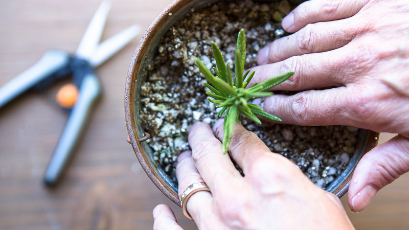 Grow Plants for Free: How to Propagate Rosemary From Cuttings
