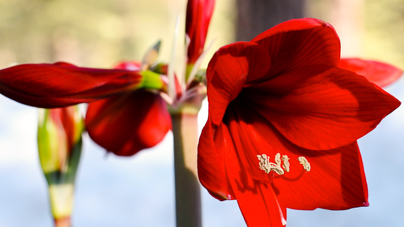 Tips for Helping Your Amaryllis Bloom Again