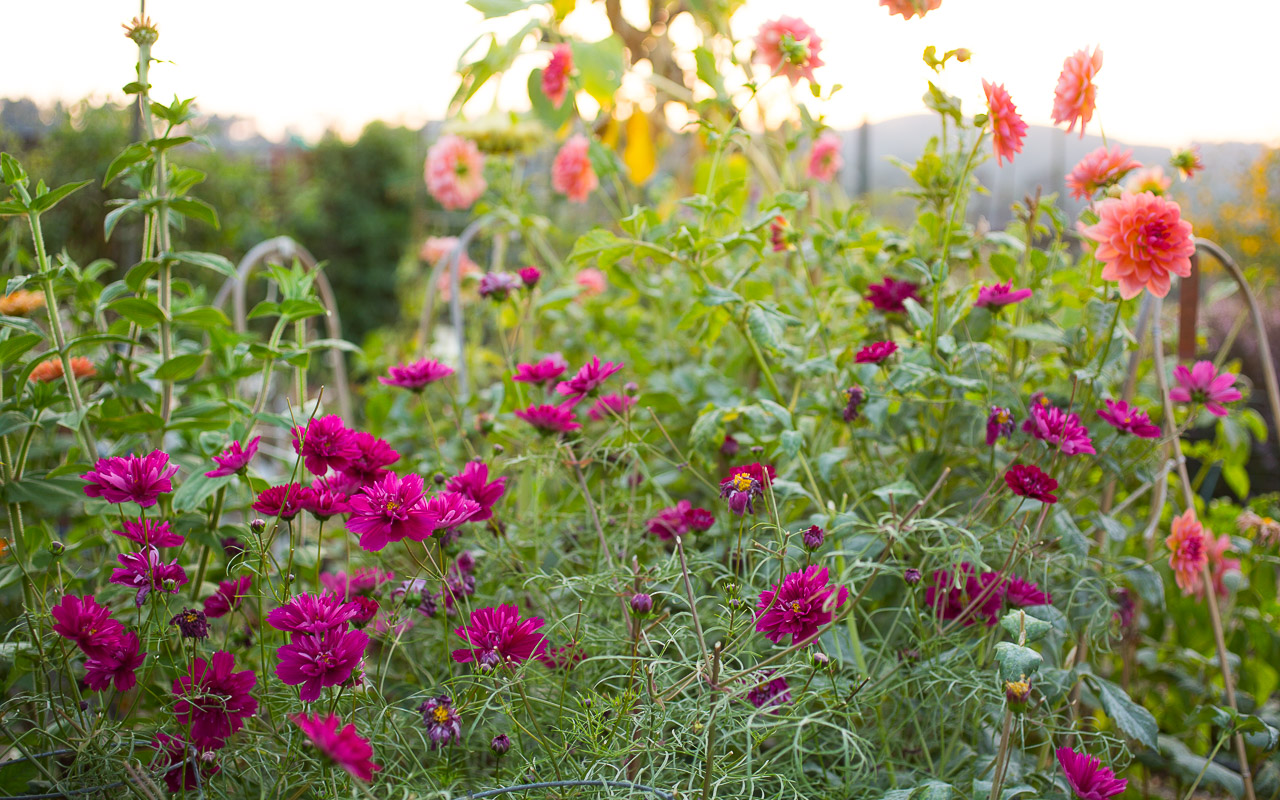 How To Store Dahlia Tubers Pass The Pistil