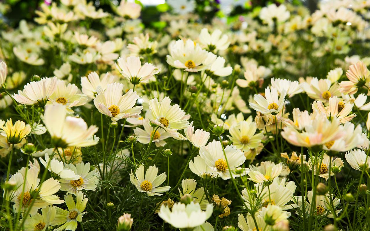 4 cosmos for your cutting garden pass the pistil cosmos bipinnatus lemonade izmirmasajfo